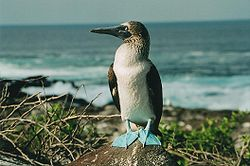 Name:  Blue footed booby.jpg