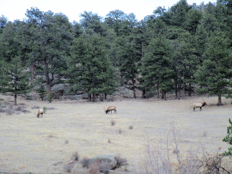 Click image for larger version  Name:elk in meadow Estes Park.jpg Views:126 Size:232.3 KB ID:3692609