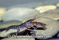 Name:  freshwater-yabby-24T5522-09.jpg