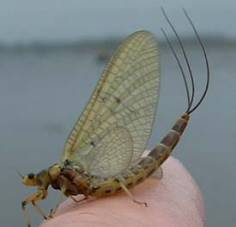Name:  mayfly adult.jpg