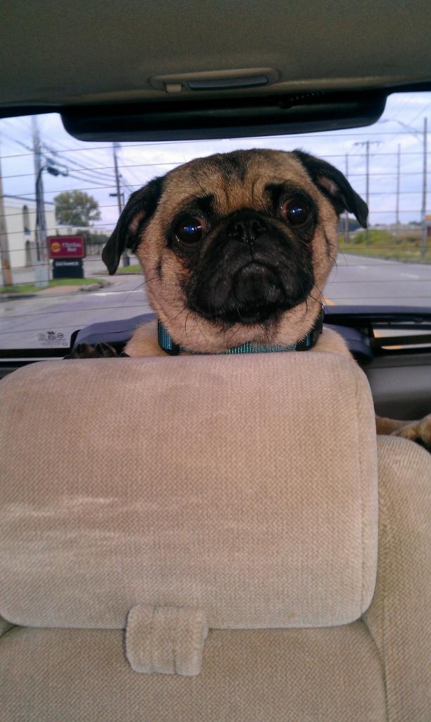 My Pug Otis.